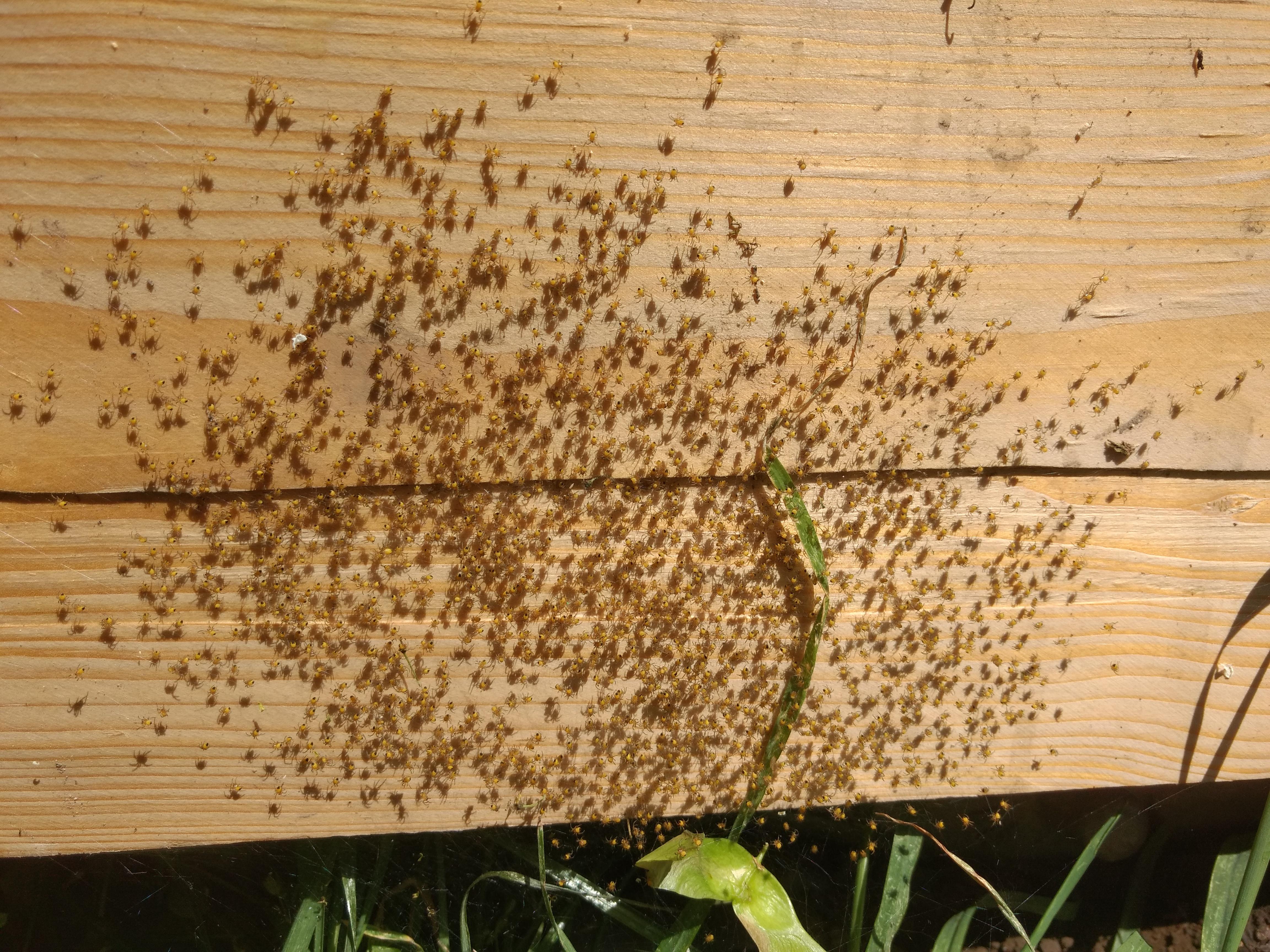 Wespen-Spinnen sonnen sich
